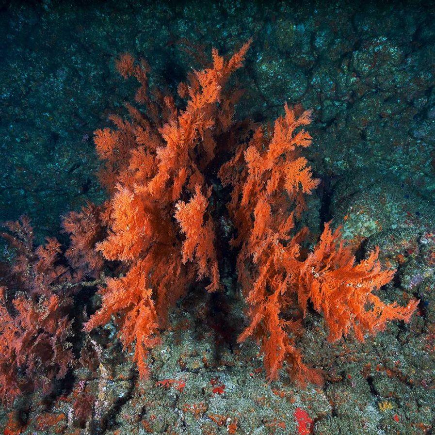 Red-Algae Extract